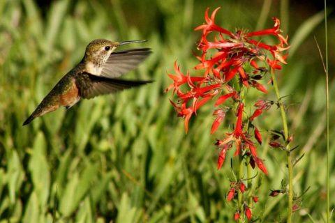 Русский охристый колибри — маленькая птица России