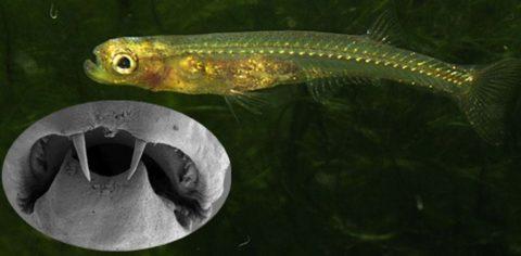 Рыба-дракула — самая необычная рыба в мире!