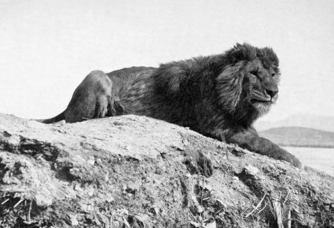 Вымерший барбарийский лев