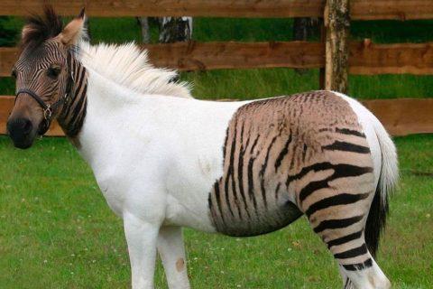 Зеброиды – гибрид лошади и зебры
