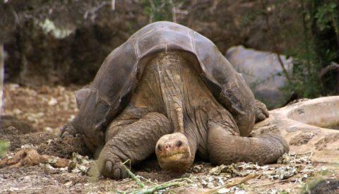 Вымершая черепаха — абингдонская слоновая