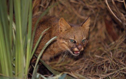 Редкие дикие кошки Колоколо
