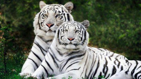 Тигры альбиносы и где они живут?
