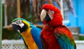 Лысый попугай — почему птицы лысеют?