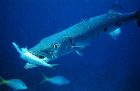 Большая барракуда морская