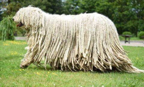 Венгерская лохматая овчарка Комондор