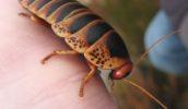 Самый большой в мире таракан Южной Африки