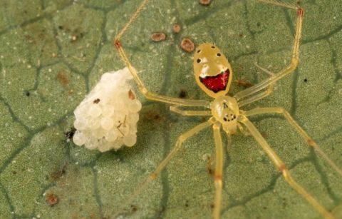 Цветные пауки: Паук-клоун