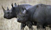 Камерунский черный носорог вымер