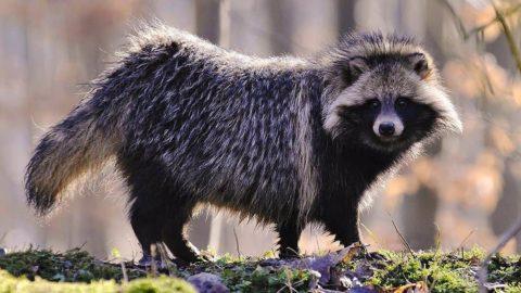 Енотовидная собака или омская чупакабра