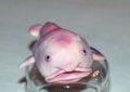 Рыба капля