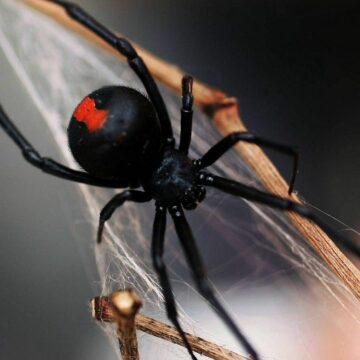 Чёрная вдова - укус ядовитого паука