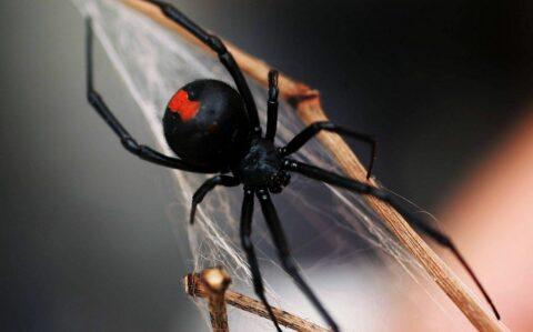 Чёрная вдова — укус ядовитого паука