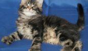 Полидактильные кошки — очарование многопалых лап