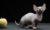 Сладкая кошка бамбино