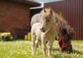 Карликовые лошади или самый маленький конь Эйнштейн