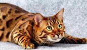 Кошка похожая на тигра — Тойгер