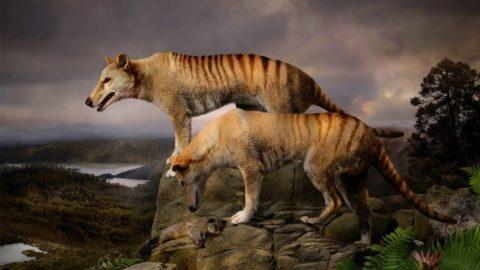 Тасманийский волк Тилацин