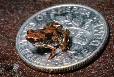 Самое маленькое позвоночное — мини лягушка!