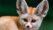 Домашняя лиса — фенек