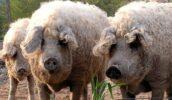 Кудрявые свиньи