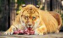 Лигры и тигоны — изыски селекции