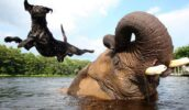 Необычная дружба — собака и слон
