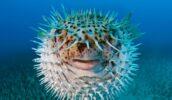 Рыба-шар, которая напоминает футбольный мяч