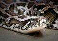 Вымирающий вид змей - тигровый питон