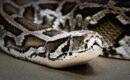 Вымирающий вид змей — тигровый питон