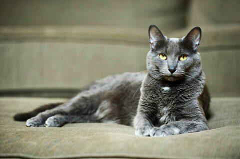 Порода кошек — Корат