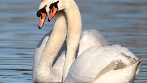Тайна лебединой верности