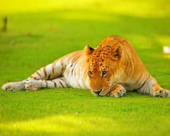 фото лигр и тигон
