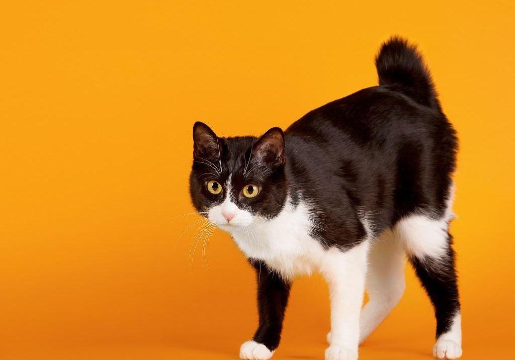 картинки кошки японский бобтейл идти топонимики отрасли